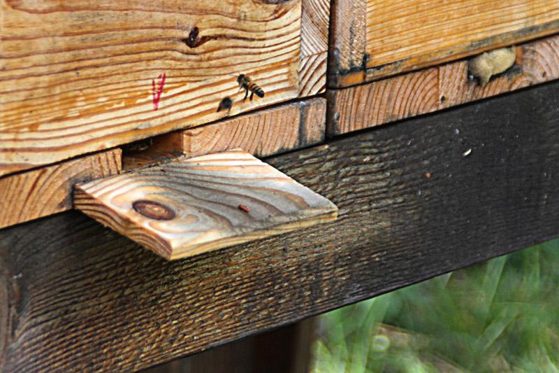 Einflugloch im Bienenkasten mit Biene im Anflug